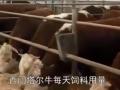 西门塔尔牛每天饲料用量,育肥牛的全价饲料配方 (0播放)